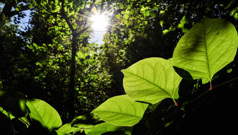 Are you looking to sell a house with Japanese knotweed